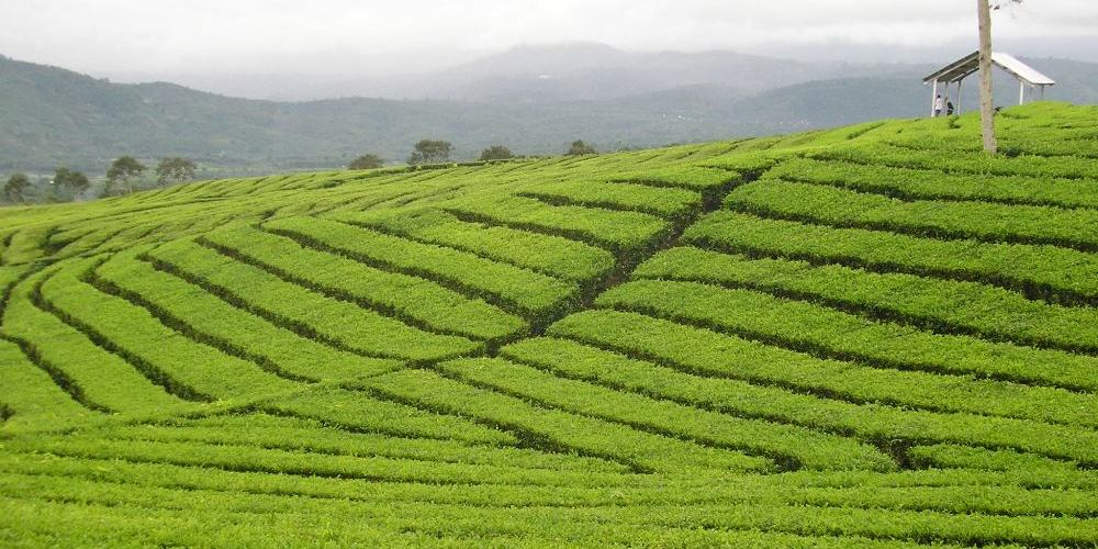 Is Tea Industry the Next Sector for SMEs to Venture Into ?